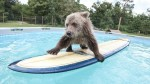 bearsurfing