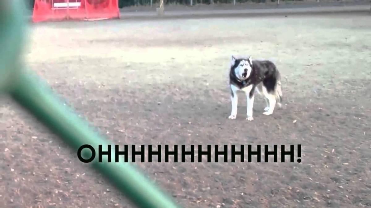 Howling Husky Dog Park