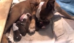 Bulldog Puppies Live Stream