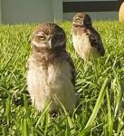 Dancing Owls