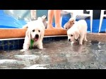 Tiny dogs seem nervous and curious before jumping into the pool. It is a Pawty pool! Golden retriever puppy make a splash and go swimming for the first time