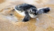 Funny Grandpa Releasing Cute Baby Sea Turtles
