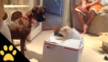 Cat Jumps Out of a Box to Scare the Dog
